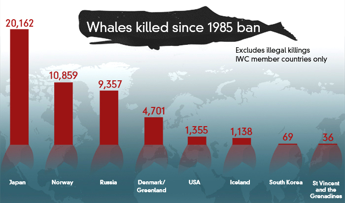 The number of whales killed around the world since 1985. Figures sourced from the International Whaling Commission. (ABC Fact Check )